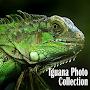Iguana Photo Collection