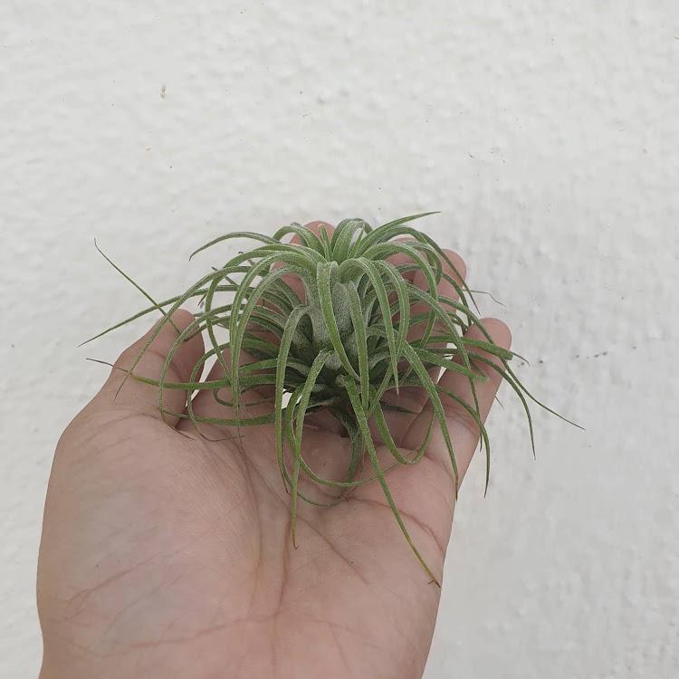 Tillandsia Ionantha Curly Leaf