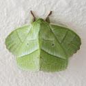 lapet moth