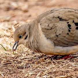 Mourning Dove Eating by Jim Hendrickson - Novices Only Wildlife ( bird, oklahoma, texas, feeding, wildlife, morning dove, morning, birds, dove )