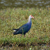 Grey headed Swamphen