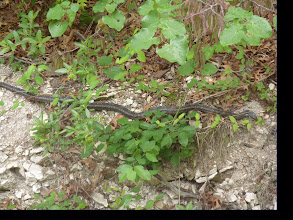 Photo: Long snake