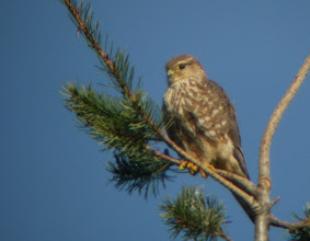 Photo: Merlin that has spent the winter in downtown Edison, Skagit County, WA