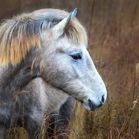 cheval camarguais by Olivier Tabary - Animals Horses ( haute herbe, chevaux, camargue, crinière, blanc, camarguais, animaux )