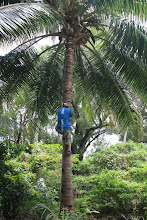 Photo: Sandy climbing a tree to get us coconuts