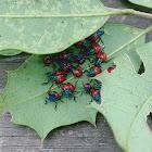 Florida Predatory Stink Bug Nymph