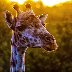 Good Morning by Ebtesam Elias - Animals Other ( masai mara, wildlife, kenya, travel photography )