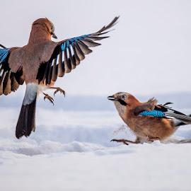 .....what you wanted here -;))) by Stanley P. - Animals Birds ( jay,  )