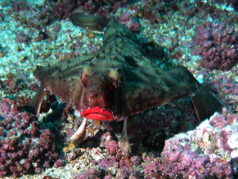 Photo: #041-Le Red Lipped Batfish de Cocos (2010)