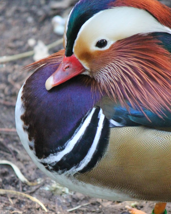 Duck of many colours by Danielle Brown - Animals Birds