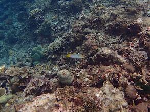 Photo: Halichoeres hortulanus (Marble Wrasse), Small Lagoon, Miniloc Island, Palawan, Philippines.
