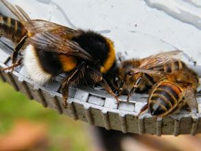 Photo: Le bourdon terrestre banquette avec les abeilles pour les fêtes ! L'entente cordiale.  http://www.baladesentomologiques.com/2015/12/bourdon-terrestre-et-abeilles-entente-cordiale.html