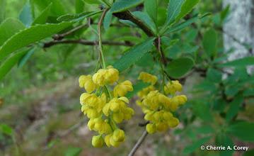 Photo: Common barberry (Berberis vulgaris)