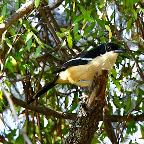 Bird in Africa  by Angie Birmingham - Animals Birds ( bird, tree, green, south africa, black )