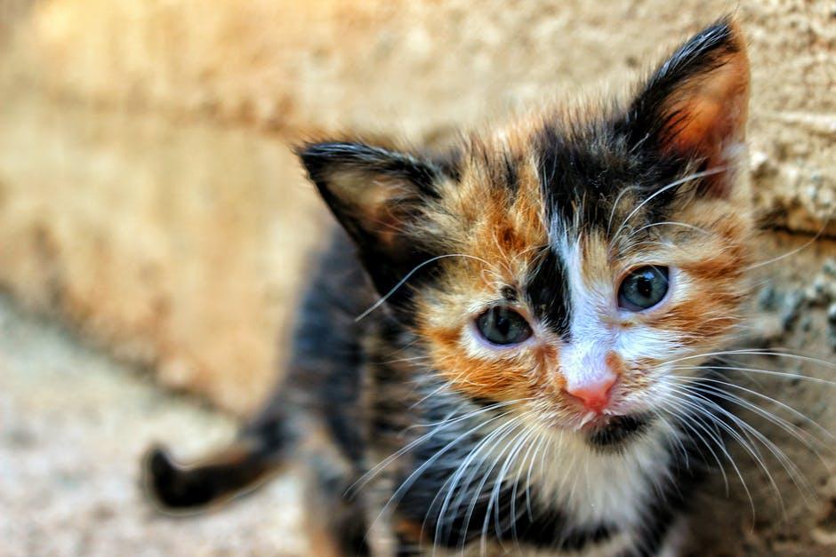 animal, cat, kitten