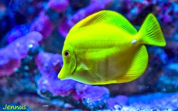 Photo: Citrus der Fisch der bei den Korallen im Aquarium lebt.