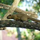 Balinese squirrel