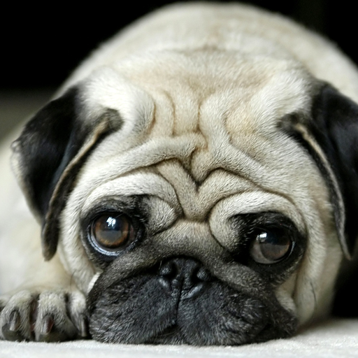 puppy pug wallpapers