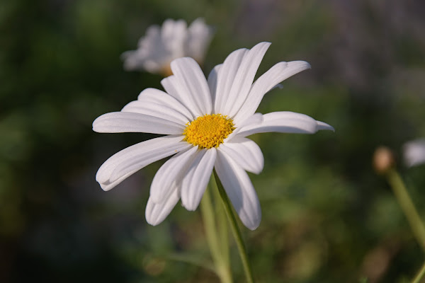 Daisy di marco_civale