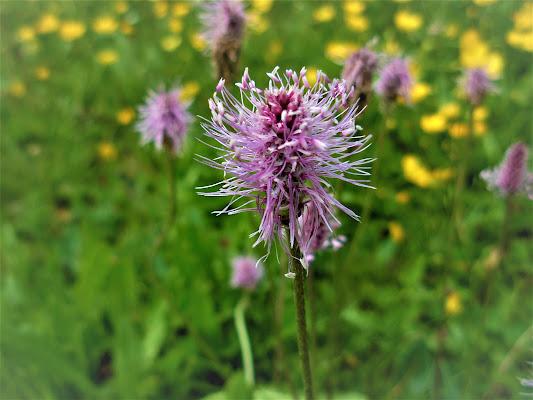 Fiore di campo di claudio_sposetti