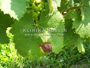 Photo: Szara pleśń - objawy na liściach