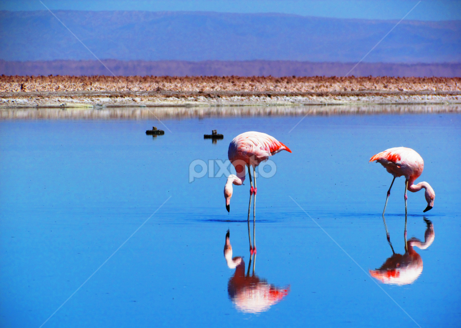 Flamingos at Salar de Atacama by Fabio Ferraro - Animals Birds ( water, chile, salar de atacama, flamingos, salar, salt )
