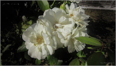 Photo: Trandafiri ( Rosa) - de pe Calea Victoriei, alee Mr.1 - 2017.08.04