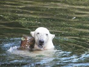 Photo: Knut hat den Baumstamm entdeckt ;-)