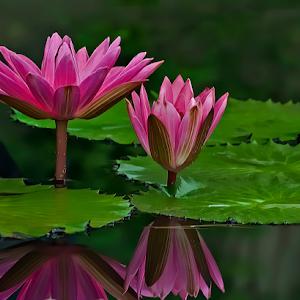 Waterlilies 008.jpg