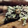 Schmarda's shrub frog