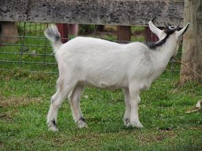 Photo: goat outside the pen. . .Gettysburg Farm Thousand Trails - Outdoor World