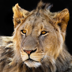 The Future King by Buddy Eleazer - Animals Other Mammals ( lion )