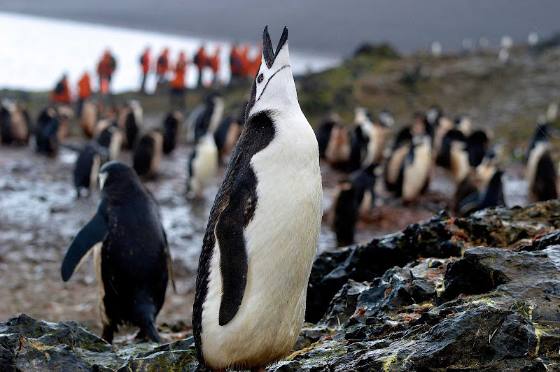 A chinstrap penguin seen on a shore excursion to Antarctica.