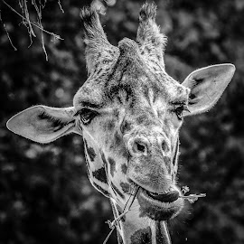 Giraffe by Garry Chisholm - Black & White Animals ( garry chisholm, nature, giraffe, wildlife, mammal )