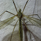 Crane Fly, female and male