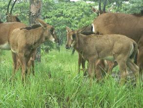 Photo: Two small calves born at the turn of the year; Duas pequenas crias nascidas no virar do ano.