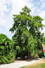 Photo: Ginkgo biloba (Japanse notenboom) Kew - Royal Botanical Gardens