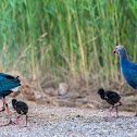 Grey-headed Swamphen.