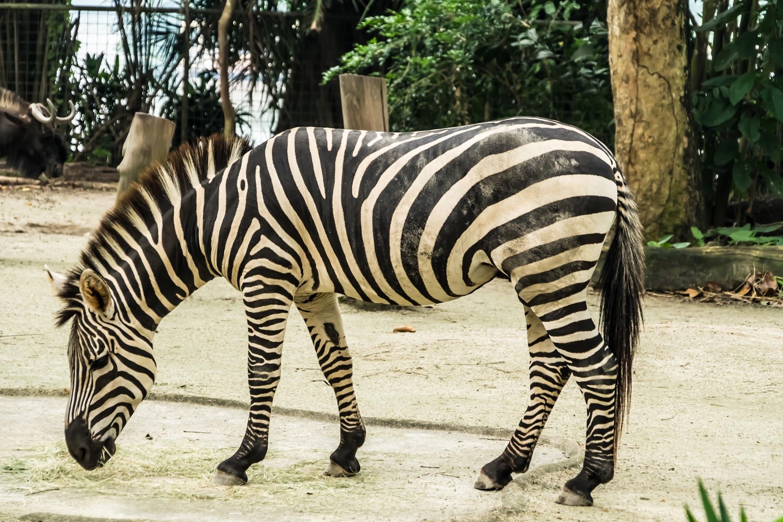 シンガポール動物園 シマウマ
