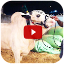 Qurbani Cow – Funny Videos v 1.0