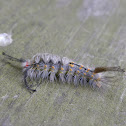Fir Tussock Moth