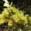 Brisbane Golden Wattle (aka Fringed Wattle)