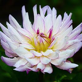 White dalhia by Gérard CHATENET - Flowers Single Flower