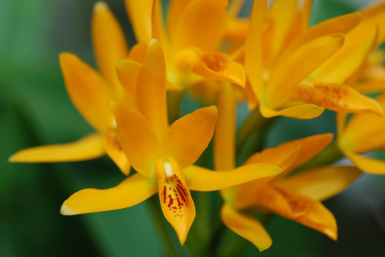 Photo: Guarranthe aurantiaca 'Kumquat'   Photo by Christina Kelley