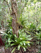 Photo: Old George – Hohenbergia caymanensis, Critically Endangered Grand Cayman endemic Family: BROMELIACEAE and the very common strangling shrub/small tree Balsam - Clusia flava, that has dangling aerial roots, Family: CLUSIACEAE  wrapped around the trunk of another tree.  Ironwood Forest, Grand Cayman, photo: Ann Stafford Jan. 17, 2003.