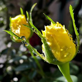 by Helen Beatrice - Flowers Flower Buds