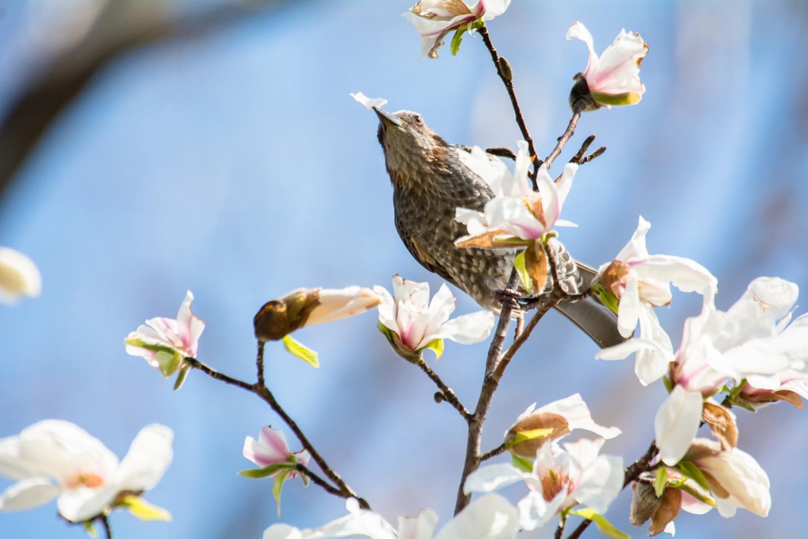 Photo: 花の楽しみ Delicious flowers.  春の花 彩り豊かに季節を染める そして食いしん坊達の 食欲までも満たしてくれる  Kobushi magnolia and Brown-eared Bulbul. (水元公園のコブシとヒヨドリ)  #IslandGallery_BrightLights +Takahiro Yamamoto +Island Gallery  #365cooljapanmay #cooljapan  #birdphotography #birds  #kawaii #sigma #nikon   Nikon D7100 SIGMA APO 50-500mm F5-6.3 DG OS HSM [ Day333, April 10th ] (2枚追加:Added 2 photo)  小鳥の詩朗読 https://youtu.be/MWAJNHUqazE?list=PL2YtHGm0-R3qVsaqvQe9OYdJFCkI98wzF