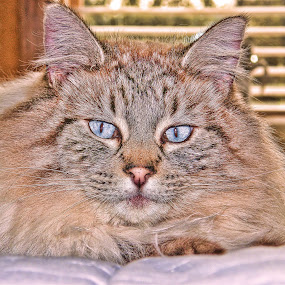 Blue Eyes by Christy Sawyer - Animals - Cats Portraits ( animals, cat, pets )