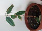 Photo: Week 13 - 23 cm / leaf 8.5 cm - new leaves 7 cm