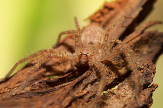 Photo: Juvenile Huntsman Spider